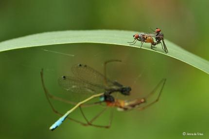 Bloemvliegen - Anthomyiidae