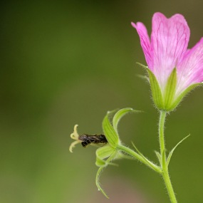 Kleine klokjesbij - Chelostoma campanularum