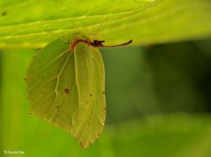 Hier hangt ze dan... aan de onderkant van een Hortensia blad...