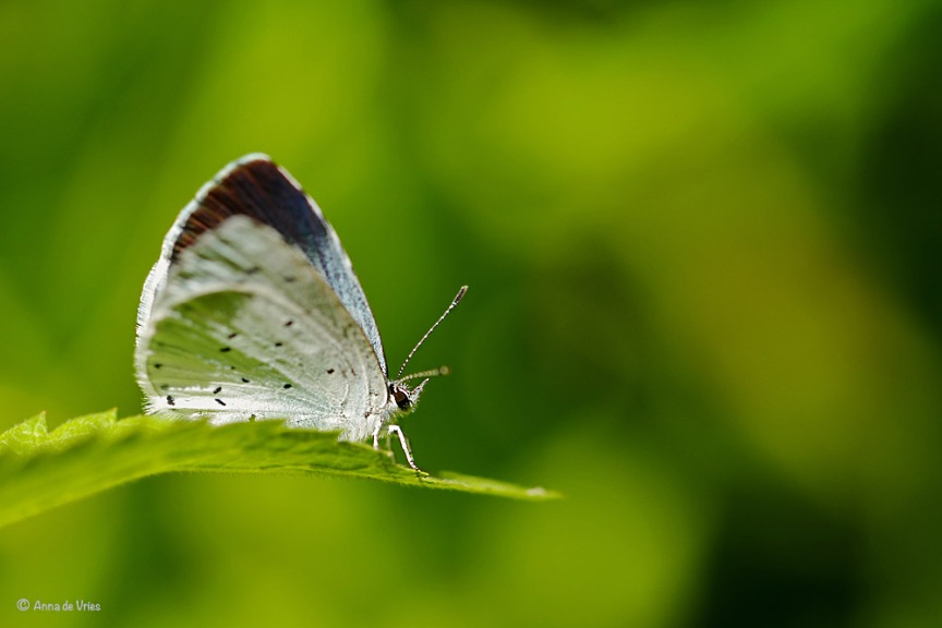 Boomblauwtje - Celastrina argiolus