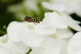 Bosbandzwever (Syrphus torvus)