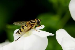 Citroenpendelzweefvlieg (Helophilus trivittatus)
