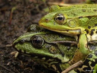 Groene kikkers