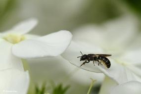 Kleine klokjesbij (Chelostoma campunularum) rust hier even uit.