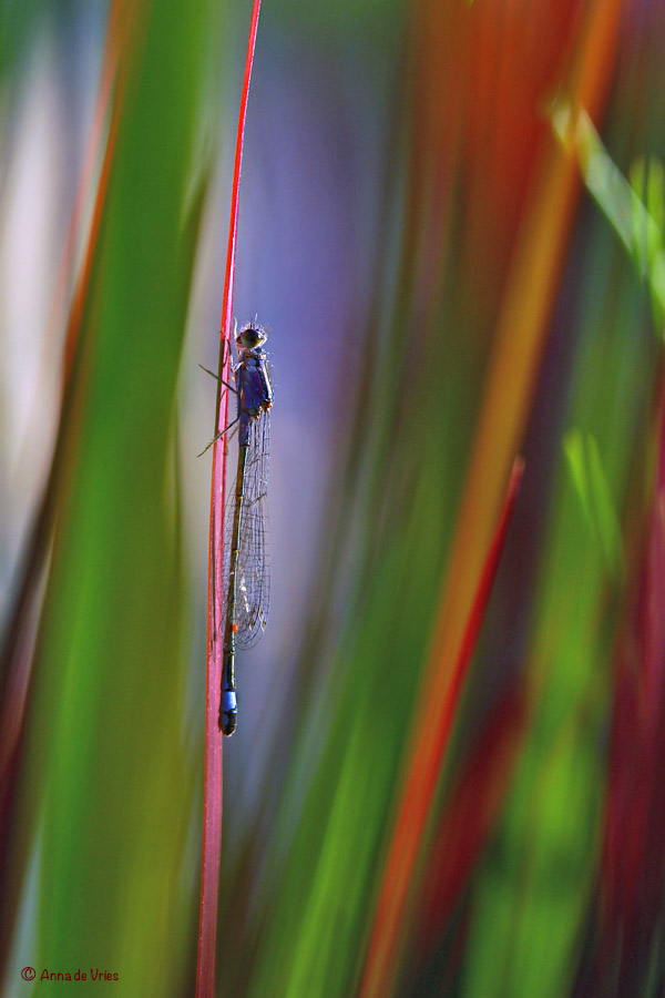 Lantaarntje in de siergras Imperata cylindrica 'Red Baron'
