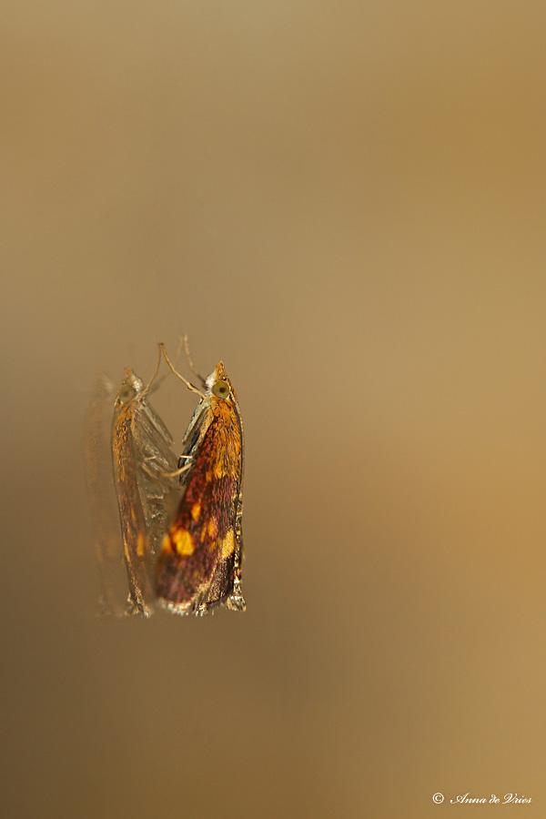 Muntvlinder - Pyrausta aurata