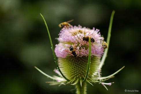 Puntbijvliegen - Kaardenbol