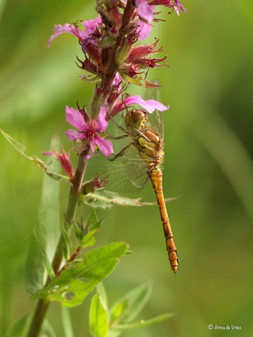 2. Bruinrode heidelibel (Sympetrum striolatum)