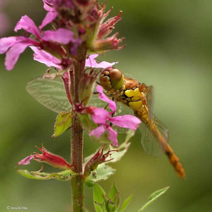 3. Bruinrode heidelibel (Sympetrum striolatum)