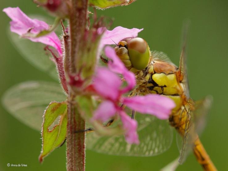 4. Bruinrode heidelibel (Sympetrum striolatum)