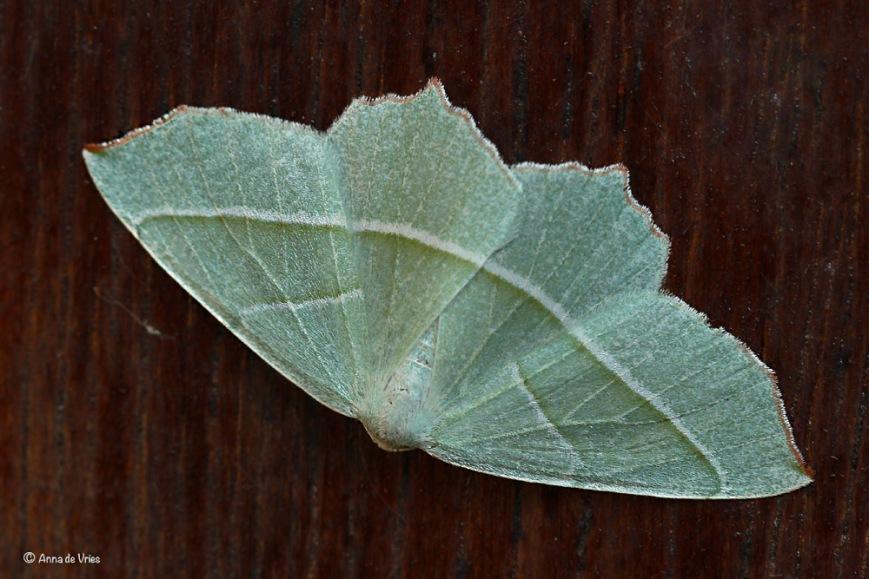 Appeltak - Campaea margaritaria
