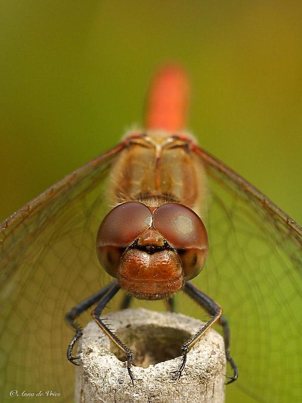 Bruinrode heidelibel (man)