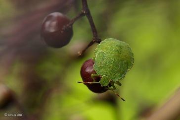 Groene Stinkwants (Palomena prasina)