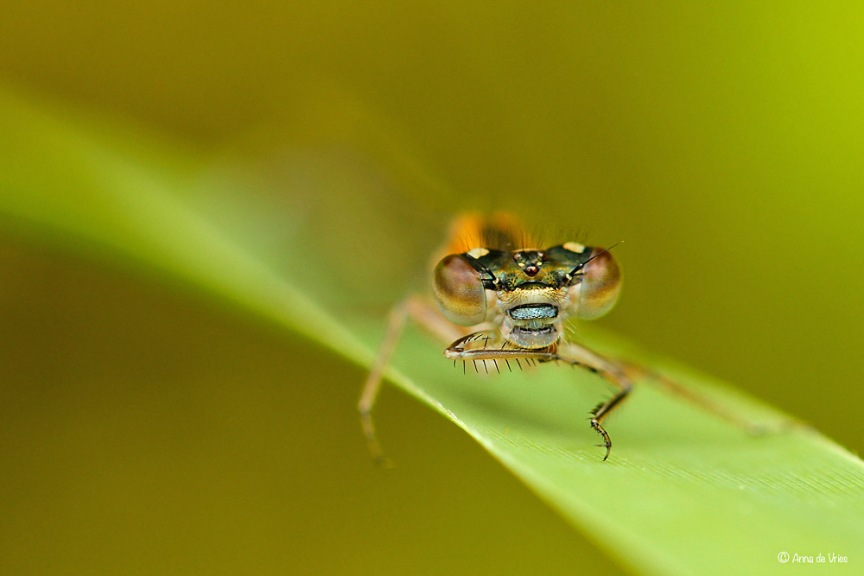 Lantaarntje - Ischnura elegans