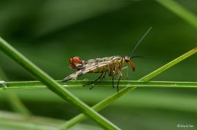 Schorpioenvliegen (man)- Panorpidae