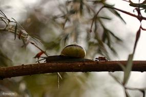 Witgerande tuinslak - Cepaea hortensis