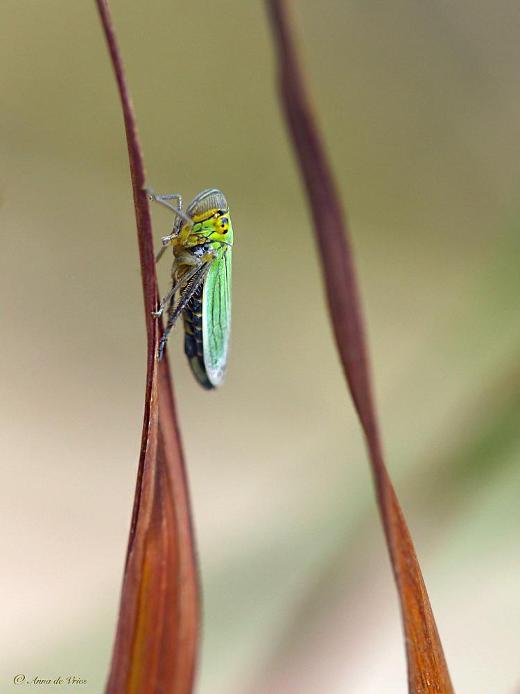 groene-rietcicade-cicadella-viridis