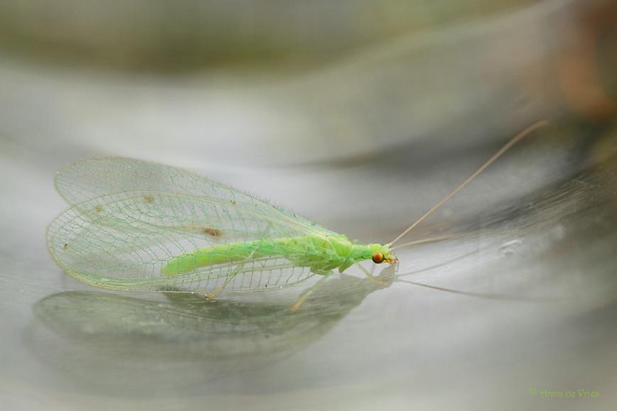Groene gaasvlieg
