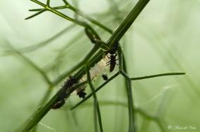 3. Na 5 tot 8 dagen komen uit de eieren larven
