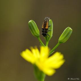 4. Volwassen larve