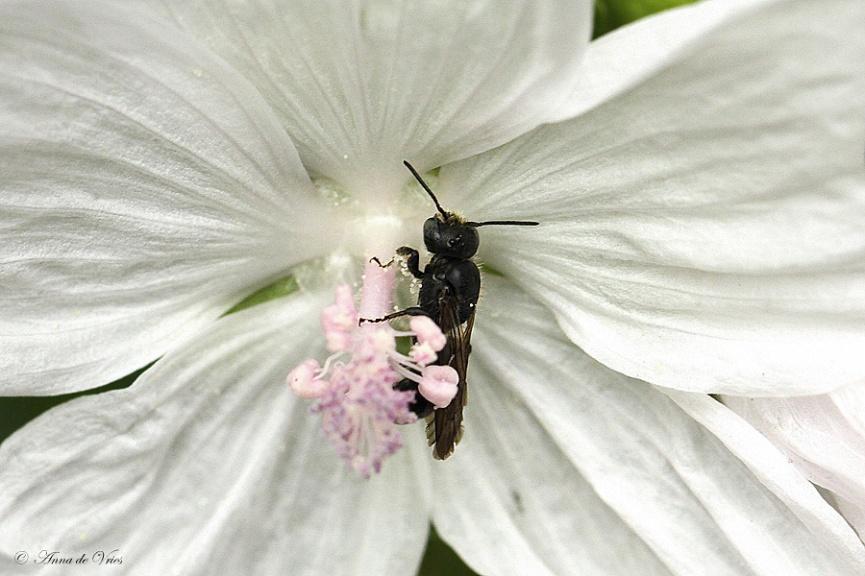 Grote klokjesbij slapend in de bloem van de Malva moschata 'Alba'