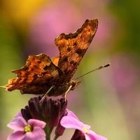 Fladderende vlinders