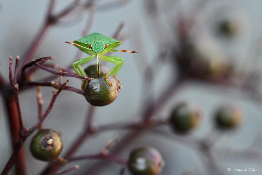 Groene schildwants - Palomena prasina