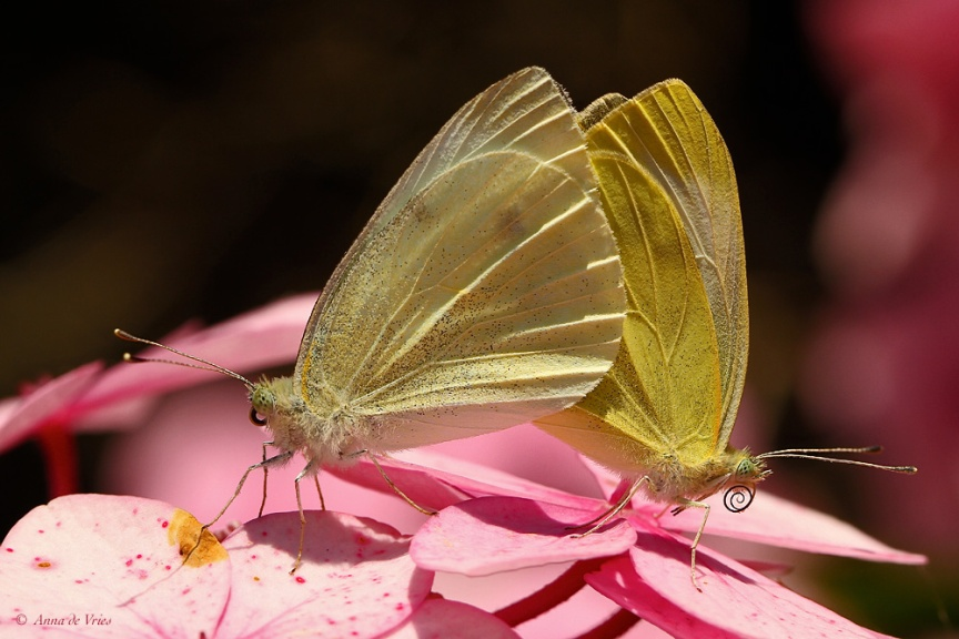 Paring Klein koolwitje - Pieris rapae