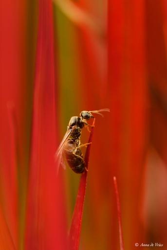 Zwartbruine wegmier (Lasius niger)
