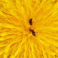 Paardenbloem nectar en de mier