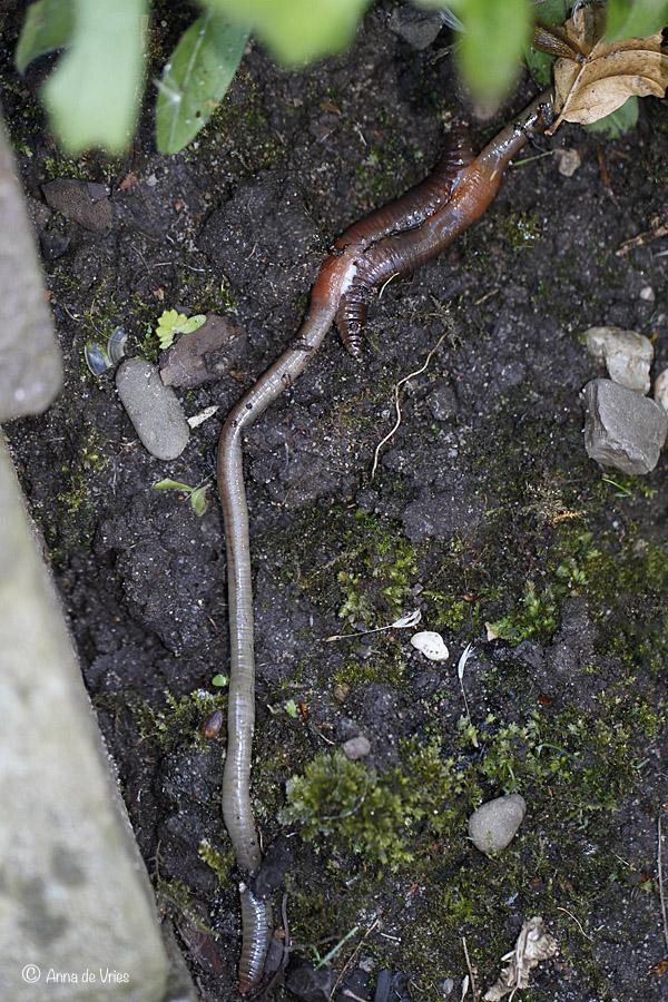 1. Voortplanting regenworm