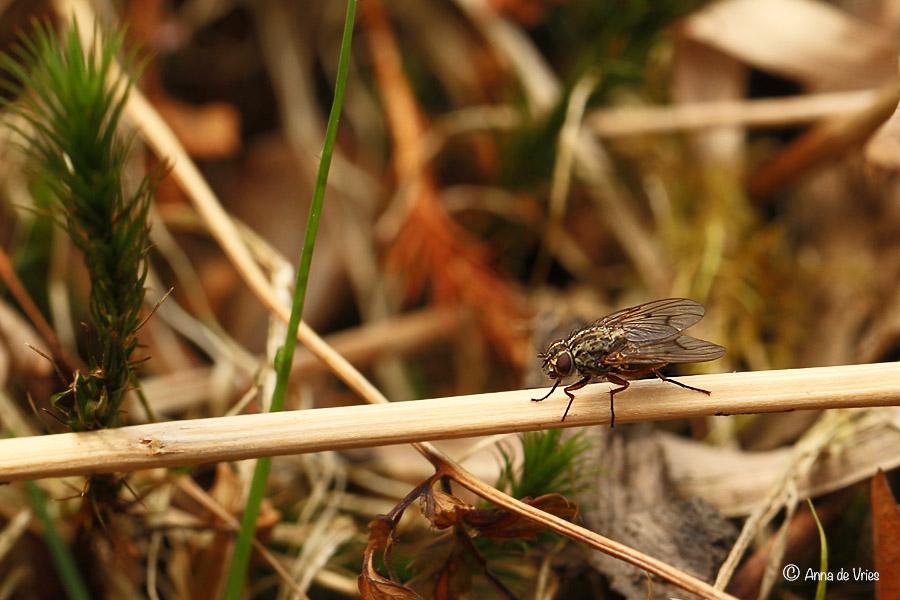 Bloemvlieg - Anthomyiidae