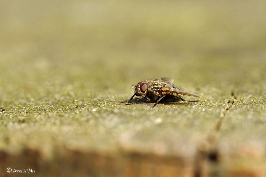 Kleine kamervlieg - Fannia canicularis