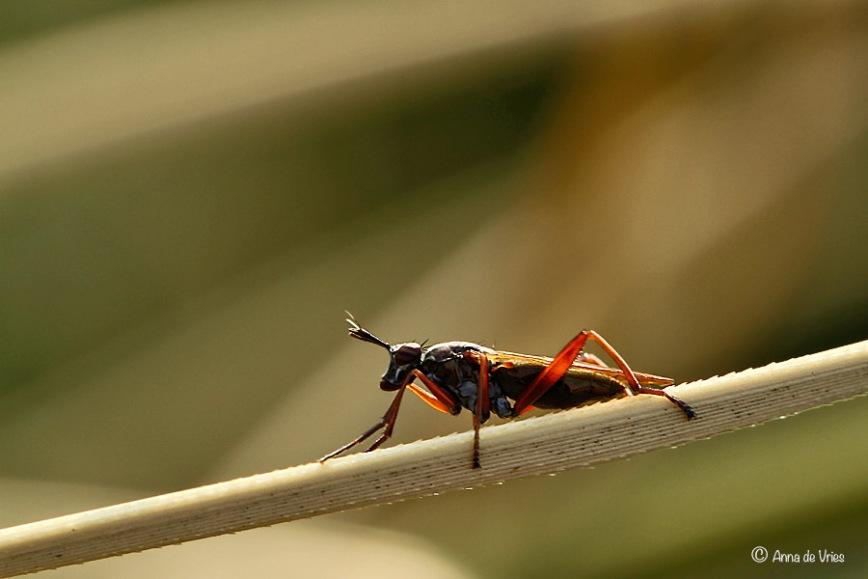 Slakkendoder - Limnia unguicornis