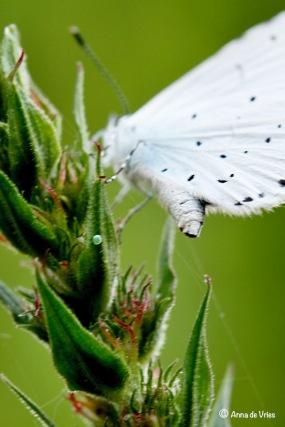 Boomblauwtje zet haar eitje af op de Grote Kattenstaart en vliegt weg