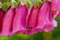 Deze Grote klokjesbij (Chelostoma rapunculi) ligt hier heerlijk te slapen op de overhangende Vingerhoedskruid (Digitalis purpurea).