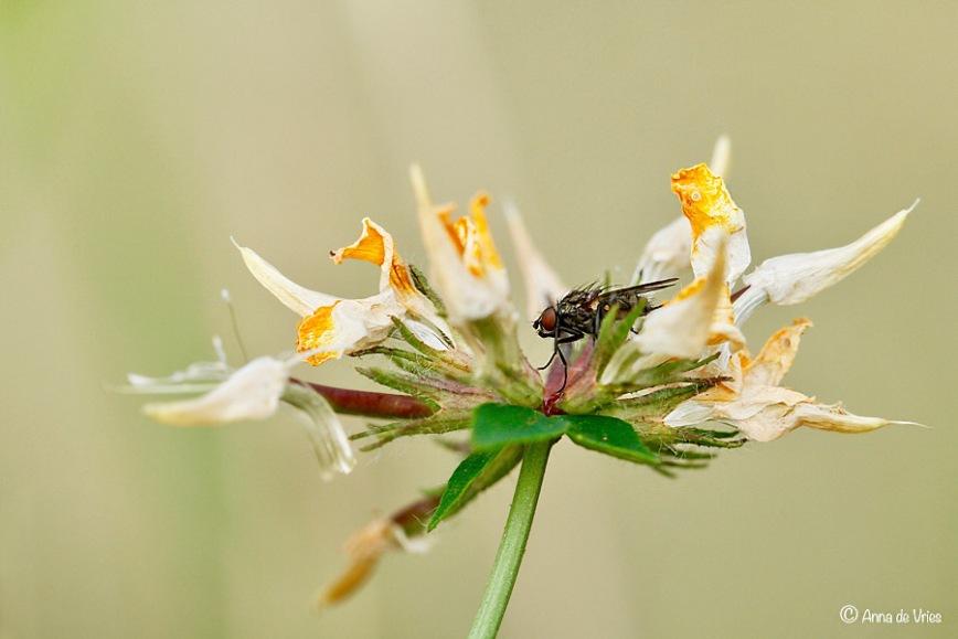 Gewone huisvlieg (Musca domestica) op een uitgebloeide Rolklaver (Lotus corniculatus var. corniculatus).