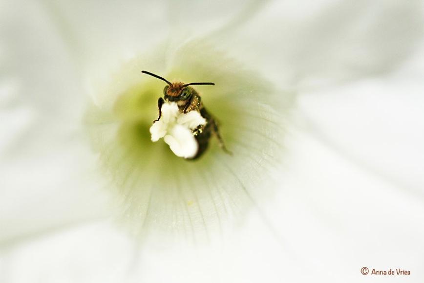Grote Klokjesbij - Chelostoma rapunculi