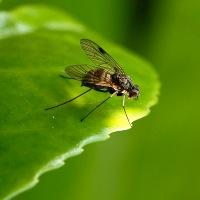 Snavelvliegen of Snipvliegen