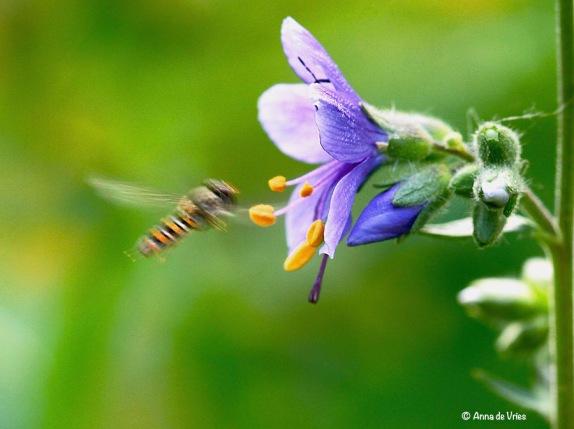 Snorzweefvliegje probeert te landen maar dat lukt niet want de stinkwants larve zit nog in de bloerm