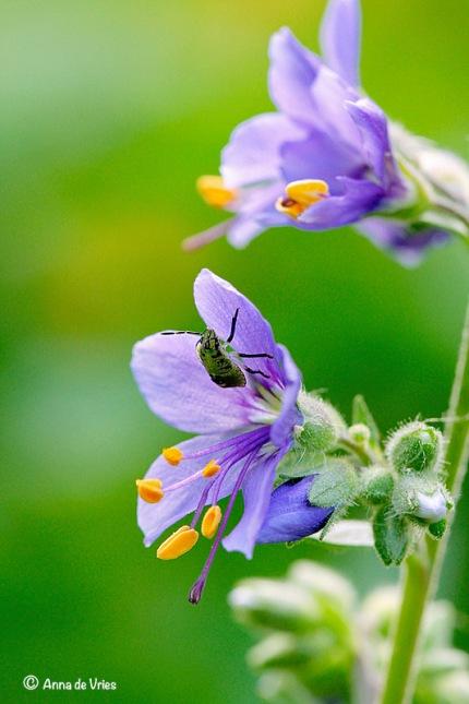 Stinkwants larve bezoekt ook de bloemen van de Jacobsbloem