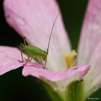 Struiksprinkhaan nimf - Leptophyes punctatissima 4997w