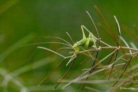 Struiksprinkhaan nimf - Leptophyes punctatissima 5644w
