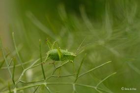 Struiksprinkhaan nimf - Leptophyes punctatissima 5741w