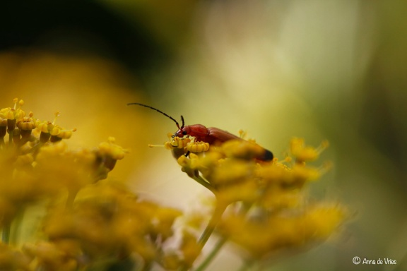 1. Kleine rode weekschildkever op de schermbloemen van de Dille