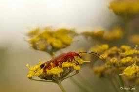 2. Kleine rode weekschildkever op de schermbloemen van de Dille