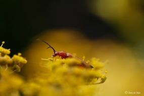 3. Kleine rode weekschildkever op de schermbloemen van de Dille