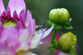 Rode smalbok - Corymbia ruba