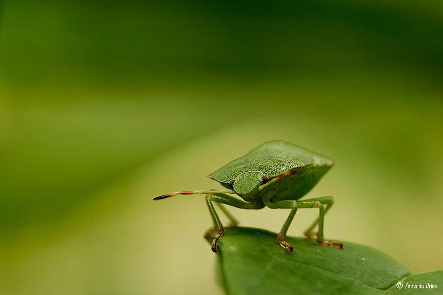 Groene stinkwants (nimf)