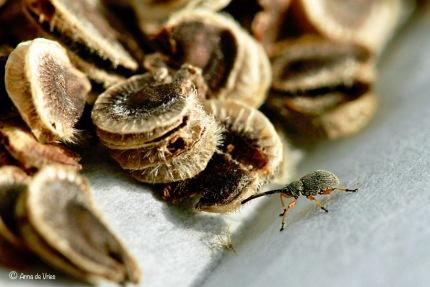 Stokroossnuitkever - Rhopalapion longirostre ♀